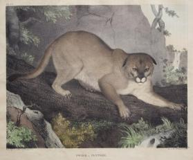 Cougar, or Panther