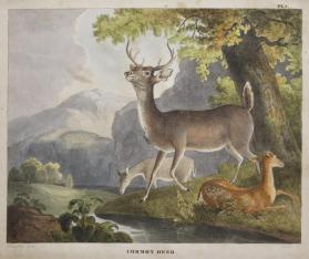Common Deer