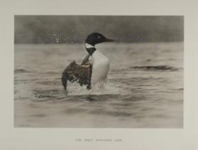 The Great Northern Loon