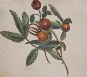 Rose Hips from Pigeon Cove