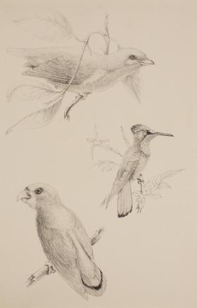A Study of Three Birds:  A Finch, Parakeet and Hummingbird